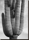 Detail of cactus Saguaros, Saguro National Monument, Arizona, ca. 1941-1942 Stretched Canvas Print by Ansel Adams