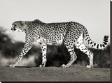 Cheetah, Namibia, Africa Stretched Canvas Print by Frank Krahmer