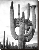 Saguaro National Monument, Arizona, ca. 1941-1942 Stretched Canvas Print by Ansel Adams