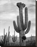Full view of cactus with others surrounding, Saguaros, Saguaro National Monument, Arizona, ca. 1941 Stretched Canvas Print by Ansel Adams