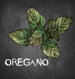 Oregano on Chalkboard Art by  Color Me Happy