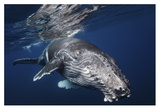 Humpback Whale Giclee Print by Barathieu Gabriel