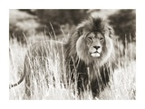 Male lion Giclee Print by  Anonymous