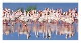 Lesser flamingo, Lake Nakuru, Kenya Giclee Print by Frank Krahmer