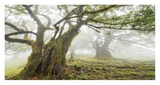 Laurel forest in fog, Madeira, Portugal Giclee Print by Frank Krahmer