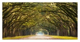 Path lined with oak trees Giclee Print by  Anonymous