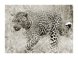 Leopard hunting Giclee Print by  Anonymous