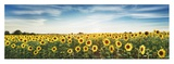 Sunflower field, Plateau Valensole, Provence, France Giclee Print by Frank Krahmer