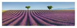 Lavender field, Provence, France Giclee Print by Frank Krahmer