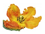 Parrot tulip close-up Giclee Print by Frank Krahmer