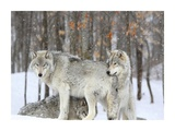 Grey wolves huddle together during a snowstorm, Quebec Giclee Print by  Anonymous