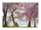 Cherry trees bloom, Washington, USA Giclee Print by  Anonymous