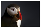 Puffin Portrait Giclee Print by Ennedi