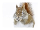 Christmas Squirrel Giclee Print by Mircea Costina