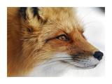Red Fox Giclee Print by Alain Turgeon