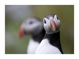 Posing Puffin Giclee Print by Olof Petterson