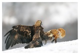 Golden Eagle And Red Fox Giclee Print by Yves Adams