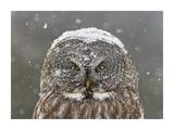 Great Grey Owl Winter Portrait Gicléedruk van Mircea Costina