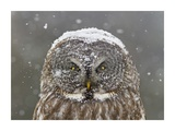 Great Grey Owl Winter Portrait Giclee Print by Mircea Costina