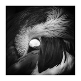 Grey Crowned Crane Giclee Print by Giovanni Casini