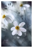 Cosmos Giclee Print by Mandy Disher