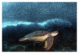 Turtle And Sardines Giclee Print by Henry Jager