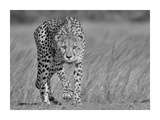 Focused Predator Giclee Print by Jaco Marx