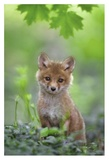 Red Fox Pup Giclee Print by Nick Kalathas