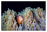 Clownfish Giclee Print by Barathieu Gabriel