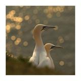 Gannets In Sunset Impression giclée par Karen Kolbeck