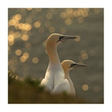 Gannets In Sunset Giclee Print by Karen Kolbeck