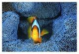 Clownfish In Blue Anemone Giclee Print by Barathieu Gabriel