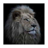 Proud Lion Giclee Print by Louise Wolbers
