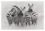 Zebras Giclee Print by Kirill Trubitsyn