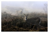 The Rut In On White-Tailed Deer Giclee Print by Jim Cumming