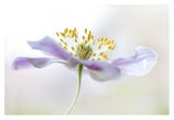 Wood Anemone Giclee Print by Mandy Disher