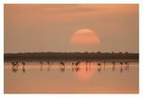 Flamingos At Sunrise Giclee Print by Joan Gil Raga