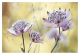 Astrantia Major Giclee Print by Mandy Disher