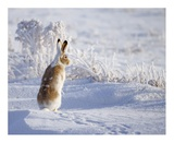 White-Tailed Jackrabbit Giclee Print by Shlomo Waldmann