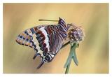 La Mariposa Del Madroa Giclee Print by Jimmy Hoffman