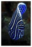 Emperor Angelfish Giclee Print by Barathieu Gabriel