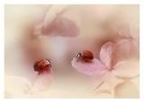 Ladybirds On Pink Hydrangea. Giclee Print by Ellen Van Deelen