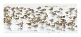 Bar-Tailed Godwit 19 Giclee Print by Kurien Yohannan