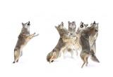 The Choir Coyotes Giclee Print by Jim Cumming
