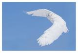 Hunting Snowy Owl Giclee Print by Mircea Costina