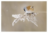 Bearded Tit Reproduction procédé giclée par Jonas Kazlauskas