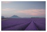 Lavender Field Giclee Print by Rostovskiy Anton