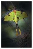 Moon Moth Giclee Print by Jimmy Hoffman