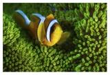 Yellow Clownfish On Green Anemon Giclee Print by Barathieu Gabriel