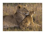 Baby Lion With Mother Giclee Print by Henry Jager
